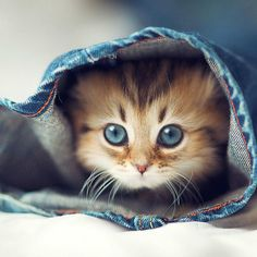 7 Fun Facts About Maine Coon Cats - Kittens - Ideas of Kittens - Cutest cats Tap the link for an awesome selection cat and kitten products for your feline companion!mainecoonguid The post 7 Fun Facts About Maine Coon Cats appeared first on Cat Gig. Pretty Cats, Beautiful Cats, Animals Beautiful, Gorgeous Eyes, Beautiful Images, Cute Baby Animals, Animals And Pets, Funny Animals, Funniest Animals