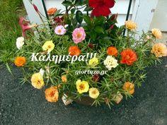 Portulaca Grandiflora, Bamboo Fence, Succulents Garden, Container Gardening, Floral Wreath, Backyard, Wreaths, Flowers, Plants