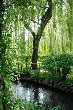 Weeping Willow Giverny, France     Photo by p titesmith12 on Flickr    <3 Enchanted Nature