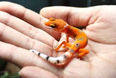 White & Yellow Leopard Gecko. This stunning dominant color morph has a  high concentration of white or yellow. Some features are high white on the sides, a large white band at the base of the head, dorsal striping and bright white tails.