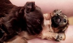 Sleeping Havanese Puppies - Part Shitzu Havanese Puppies, Shih Tzu Puppy, Sleeping Puppies, Dogs, Animals, Baby Shih Tzu, Animales, Animaux, Pet Dogs