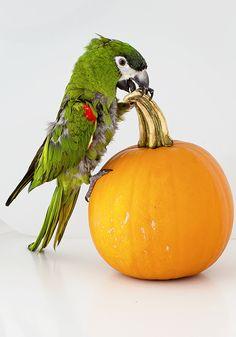 Hahn's macaw #fancybirddesign #parrot #macaw