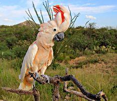 Cacatua delle Molucche - Salmon-crested Cockatoo -  Cacatua moluccensis