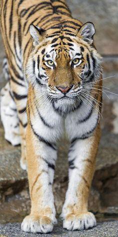 Standing female Siberian tiger