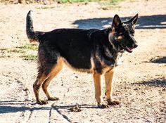www.elitek-9.com   #germanshepherd #gsd #protectiondogs #exotics #luxurylife #czechshepherd Executive Protection, Working Dogs, German Shepherds, Luxury Life, Dog Training, Kangaroo, Puppies, Travel, Animals