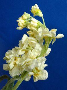 Cream stock fragrant flower for arrangements Wedding Flowers, Wholesale Roses, Cream, Plants,
