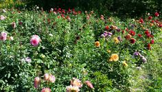 Dahlias at the height of the season. Photo by Educator Sandy Buxton.