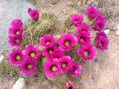 flores de cactus