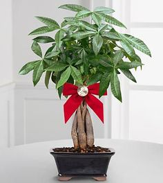 The feng shui money plant is a popular feng shui money cure in all classical feng shui schools. The money plant is used as a feng shui cure to attract the energy of wealth and prosperity. Feng Shui Cures, Feng Shui Tips, Feng Shui Money Tree, Consejos Feng Shui, Pachira Aquatica, Feng Shui Plants, Feng Shui History, Fen Shui, Feng Shui Wealth