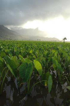 Pesticides and herbicides are widely used on Hawaii's islands by biotech companies and safety concerns have led to the formation of a state-funded panel.