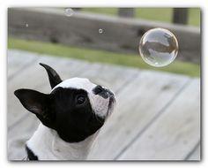 Our wonderful Boston Terriers!