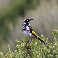 """""""Australian Birds - honeyeater"""" New Holland or White Cheeked Honeyeater"""