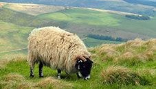 Sheep, Peak District (U.K.)eating grass on the countryside.