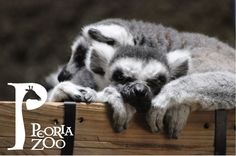 """Peoria Zoo Ring-tailed lemurs """"Aiden"""" and """"Donovan"""" enjoy the late afternoon sunshine."""