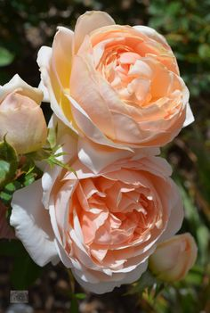 'Evelyn' | Shrub. English Rose Collection. David C. H. Austin, 1992 | Flickr - © Ingrid Van Streepen