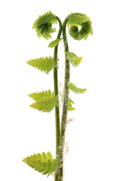 fiddlehead ferns (mary jo hoffman)