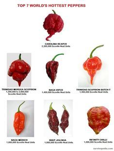 How To Grow Peppers Indoors Survivopedia is part of Stuffed peppers - It's this feature that makes peppers such a great prepper's plant you can grow them literally anywhere that has some sun Hot Pepper Recipes, Hot Sauce Recipes, Chilli Recipes, Worlds Hottest Pepper, Hottest Chili Pepper, Hot Pepper Chart, Barbacoa, Chile Picante, Dried Peppers