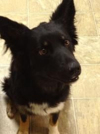 Adopt Samantha, a lovely 1 year Dog available for adoption at Petango.com.  Samantha is a Border Collie / Shepherd and is available at the Great Plains SPCA Merriam in MISSION, KS