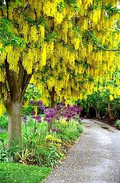 Laburnum as surprise focus in Zen garden: through a visual tunnel at the end/ round a corner. Landscaping with Accent Trees -- Golden-chain tree pictured (Laburnum tree)