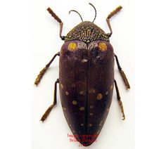 This Sternocera species is a lovely jewel beetle from the northern part of Cameroon.