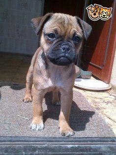 (pug X Jackrussel) Pug Puppies, Chihuahua, Jug Dog, Pug Cross, Dog Crossbreeds, Pug Mix, Puppy Pads, Dog Mixes, Cute Pugs