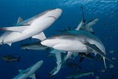 The Great Fiji Shark Count takes place in the months of April and November every year.