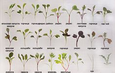 List of Microgreen Possibilities: We'll show you how to grow microgreens with step by step instructions for growing microgreens indoors or outdoors depending on the time of year. Plus, a list of seed sprouting possiblities. Growing Sprouts, Growing Microgreens, Growing Vegetables, Container Gardening, Gardening Tips, Urban Gardening, Urban Farming, Indoor Gardening, Sprouting Seeds