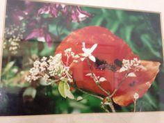 Garden poppy 1998