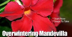 A very trendy and well known spring blooming crop of recent times is the Mandevilla Vine. Its a great and attractive asset to any outdoor terrace, deck, porch, etc. but many people wonder how to care for it once the colder months start to approach.
