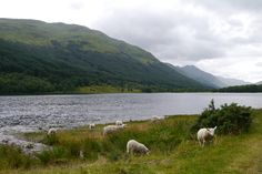 Sheep by the loch in Scotland