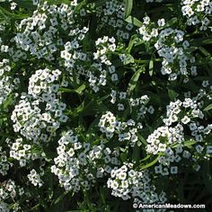 Quick bloomer so popular it's been in gardens for centuries. Always white, sometimes with a touch of pink.  Annual.