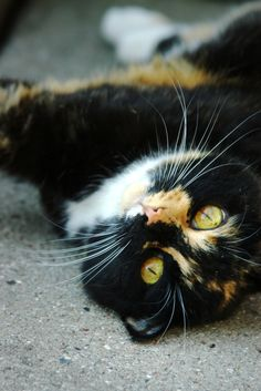 Looks just like Licorice - a cat I had a long time ago...so pretty