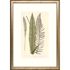 Three Transitional Ferns Framed Art Print