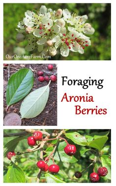 Learn about identification, health benefits, and uses of chokeBerry, one of the less well known edible wild plants, in Foraging Aronia Berries. Edible Wild Plants, Wild Edibles, Backyard Farming, Fruit Garden, Medicinal Plants, Just In Case, Berries, Nature, Health Benefits