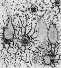astrocytic processes, illustration by Santiago Ramón y Cajal