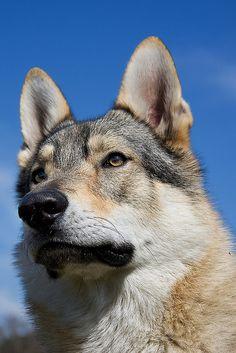 Czechoslovak Wolfdog