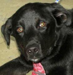 Meet Drake, a Petfinder adoptable Black Labrador Retriever Dog | Mansfield, OH | Hi there, the staff at the shelter named me Drake. I am available at the Richland County Dog Shelter in Mansfield, Ohio Email is richlandcountydogs@yahoo.com Phone is 419 774-5892 or 5893
