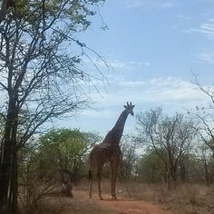 Giraffe -Wild man,Wild