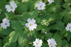 Geranium versicolor – ooievaarsbek, bodembedekker (dan 7 per m2), lichtroze met donkere aderen, .40 hoog bloei 5-10.