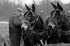 Draft Mules Working
