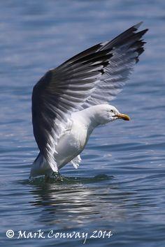 Herring Gull, Birds, Nature, Wildlife, Photography, Abersoch, Wales, Life Spirit, Mark Conway
