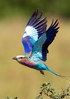 Did you know that the lilac breasted roller is sometimes called Mzilikiazi's roller? Learn more: 23 Lilac Breasted Roller Facts (Coracias caudatus) Most Beautiful Birds, Pretty Birds, Exotic Birds, Colorful Birds, Funny Bird, Lilac Breasted Roller, Bird Wings, Australian Birds, Watercolor Bird