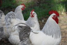 Coronation sussex--I had no idea I would love this breed as much as I do. They are HUGE, meaty and the gals lay awesome! Chicken Bird, Chicken Runs, Urban Chickens, Chickens And Roosters, Sussex Chicken, Day Old Chicks, Chicken Pictures, Poultry Supplies, Chicken Breeds