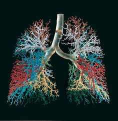 Resin cast of human lungs