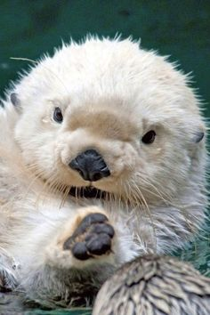 ~ Otter Pup.  Is this little guy the epitome of adorable or what?!