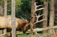 tree fallen on a elk - Google Search  Looks like he ran into the tree trying to get away .