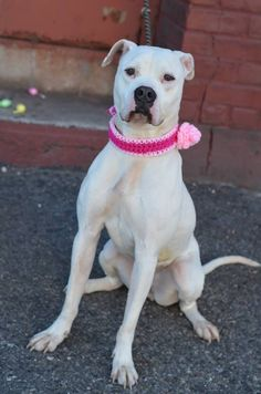 Brooklyn Center BROOKIE - A1031535 SPAYED FEMALE, WHITE / BROWN, AMER BULLDOG MIX, 2 yrs OWNER SUR - ONHOLDHERE, HOLD FOR RTO Reason PETS CONFL Intake condition UNSPECIFIE Intake Date 03/28/2015 https://www.facebook.com/photo.php?fbid=985294581483421