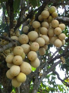 Langsat (Lansium domesticum) - A tropical fruit tree grown mainly in the Southeast Asia region