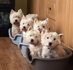Westies are so cute!