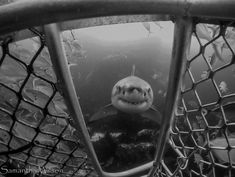 Cagedive - greatwhite - whiteshark - photo by Samantha Wilson Wild Animals Pictures, Animal Pictures, Shark Jaws, Sharks, Baby Cubs, Sports Car Wallpaper, Great White Shark, Marine Biology, Big Fish